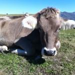 """Eine """"glückliche"""" Kuh auf einer Schweizer Alpweide"""